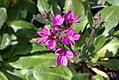 Arabis blepharophylla Spring Charm 2zz.jpg