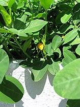 Arachis hypogaea1.jpg