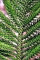 Araucaria araucana in Auckland Botanic Gardens 02.jpg