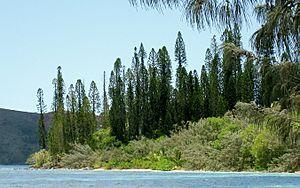 New Caledonian Araucaria - Image: Araucaria columnaris Prony 2