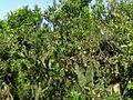 Arbol de naranja.jpg
