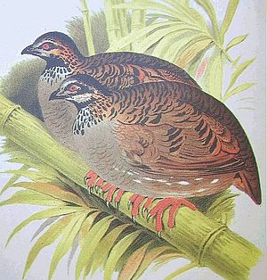 White-cheeked partridge