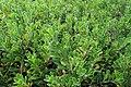 Arctostaphylos uva-ursi kz02.jpg