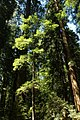 Armstrong Redwoods (31167297815).jpg