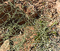 Artemisia ludoviciana ssp albula 2.jpg