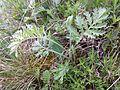 Artemisia pancicii sl19.jpg