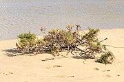 Arthrocnemum macrostachyum - Fuerteventura 002.jpg