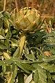 Artichoke Cynara cardunculus Head 2000px.jpg