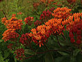 Asclepias tuberosa - Butterfly Weed.jpg