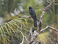 Asian koel. -kannur - 4.jpg