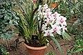 Asparagales - Cymbidium 'Holy Loch' Lewes - 1.jpg