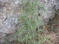 Asparagus acutifolius habito.jpg