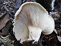 Aspropaxillus giganteus 844350.jpg