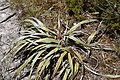 Astelia nivicola in Lewis Pass Scenic Reserve 13.jpg