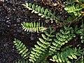 Astragalus alpinus leaves 1 AB.jpg