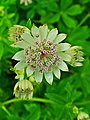 Astrantia major 002.JPG