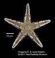 Astropecten duplicatus (YPM IZ 052627).jpg