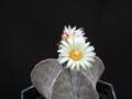 Astrophytum-myriostigma.jpg