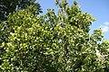 Ateramnus lucidus 3zz.jpg