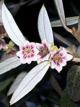 Atherosperma - flowers at Leura
