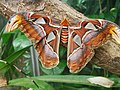 Attacus atlas-botanical-garden-of-bern 18.jpg