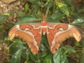 Attacus atlas1.jpg