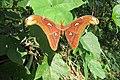 Attacus atlas - Atlas moth - at Peravoor (12).jpg