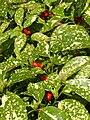 Aucuba japonica cv. 'Crotonifolia'.JPG