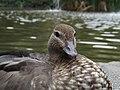 Australian wood duck 05.jpg