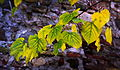 Autumn leaves - yellow 01.JPG