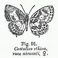 BH011 Castalius ethion race airavati female.jpg