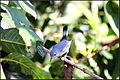 BLUE-GRAY GNATCATCHER (8120698447).jpg