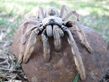 Αράχνη ταραντούλα