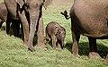 Babyphant (36231935642).jpg
