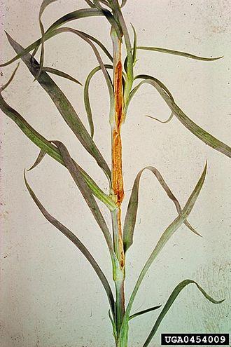 Bacterial wilt of carnation - Image: Bacterial wilt 2