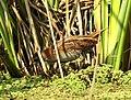 Baillon's Crake Porzana pusilla by Dr. Raju Kasambe DSCN3079 (24).jpg