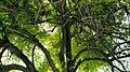 Bairi Tree Related Gurdwara Beri Sahib Sialkot Punjab Pakistan.jpg