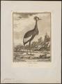 Balearica pavonina - 1700-1880 - Print - Iconographia Zoologica - Special Collections University of Amsterdam - UBA01 IZ17300137.tif