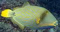 Balistapus undulatus EOL.jpg