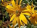 Balsamorhiza sagittata flower (3447117705).jpg