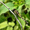 Band-winged Dragonlet (Erythrodiplax umbrata) - Young male.jpg