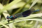 Banded Demoiselle (Calopteryx splendens) male juvenile.jpg
