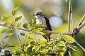 Banded bay cuckoo (34618138361).jpg