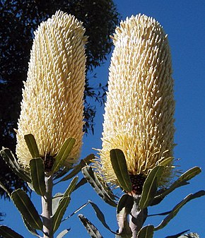 Description de l'image Banksia sceptrum chris email.jpg.