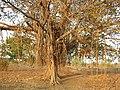 Banyan Tree Ficus benghalensis by Dr. Raju Kasambe DSCN9597 (10).jpg