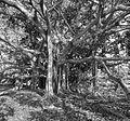 Banyan tree near Guantanamo's 'Girl Scout Beach' in 2015 -a.jpg