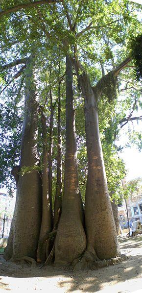 Ficheiro:Baobá panoramico1.JPG