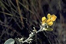 Baptisia arachnifera 3.jpg