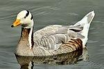 Bar-Headed Goose - Slimbridge (20627493900).jpg