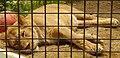 Barbary lioness.jpg